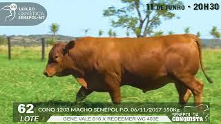 Touro Senepol PO CONQ-1203