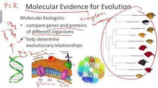 Molecular Evidence For Evolution