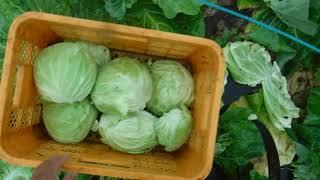 「今日もあなたと百姓一揆!」~旬の有機野菜収穫編@夏キャベツ収穫