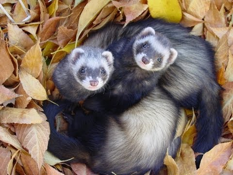 Video FERRETS - Neutering and adrenal illness