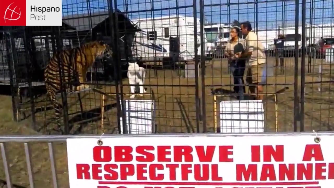 Tigre atacó a entrenadora en presencia de unos niños