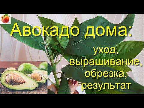 Авокадо  дома Уход Выращивание Обрезка Результат avocado seed care Из косточки!