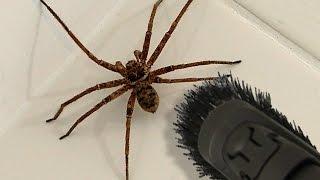 Смотреть онлайн Как в Новой Зеландии паука ловили