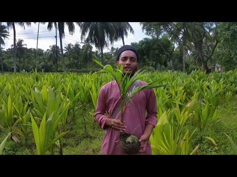ভিয়েতনামী খাটো জাতের নারিকেল চাষ ও পরিচর্যা পদ্ধতি। [SADV-01]
