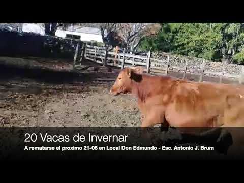 Lote 20 Vacas de Invernada, Artigas