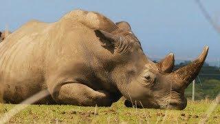 Умер Судан - последний самец северного белого носорога
