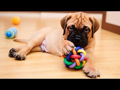 Cão não gosta de brinquedos