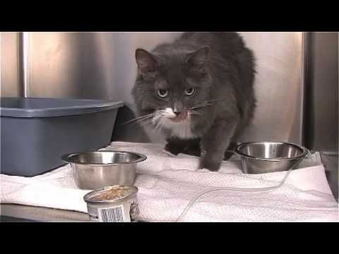Video Cat Owner's Guide to Kidney Diseases - Part 3