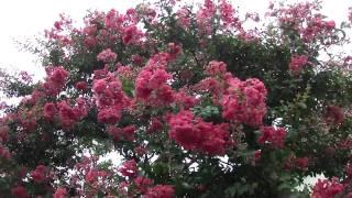 2011年8月19日百日紅さるすべりの花