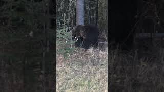 Grizzly vs Black Bear Sow with cubs