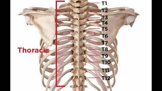 Two Minutes Of Anatomy: Thoracic Spine