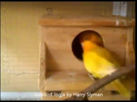 Video Belajar Ternak Lovebird - Ciri Lovebird Akan Bertelur