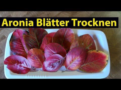 ✅ Aronia Blätter trocknen für Aronia Tee