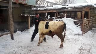 Драка с быком