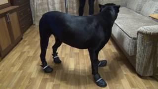 Кане Корсо Деррек одевает ботинки на зиму, Cane Corso Derrek dress shoes for the winter,