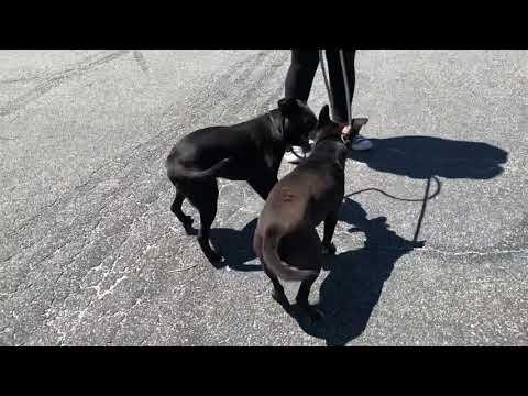 Elliot, an adoptable Labrador Retriever Mix in Long Beach, NY_image-1