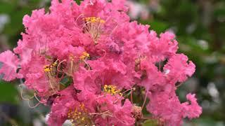 サルスベリ百日紅の性質・剪定のポイント~シンボルツリーに人気の花木~加須市・久喜市・幸手市の植木屋