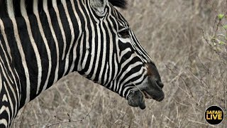 safariLIVE - Sunset Safari - October 22, 2019