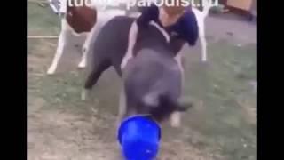 Свинство