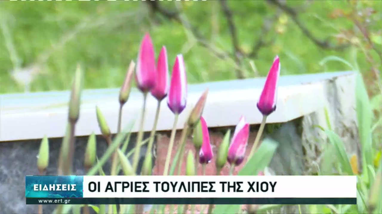 Με τουλίπες άνθισαν οι αγροί στη Χίο | 20/03/2021 | ΕΡΤ