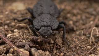 Newswise:Video Embedded uci-materials-scientists-discover-design-secrets-of-nearly-indestructible-insect