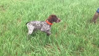 5 Month Old German Shorthair Introduced To Quail