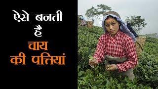 देखिये कैसे बागानों से निकली पत्तियों से बनती है चाय