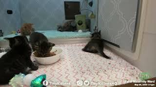 Tiny ferocious kitten, watch out!  TinyKittens.com