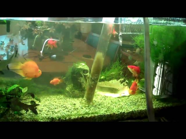 fish tank water change (aquarium) fish care: Part 1