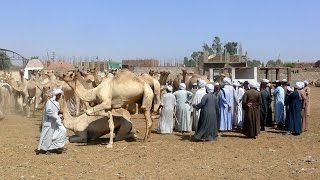 Les derniers caravaniers du Sahara - Reportage