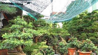 Đơn đồng Giá 500 Nghìn, Báo Giá Túc, Mai Chiếu Thủy, Sanh - Bonsai At Van Phuc Bonsai Market