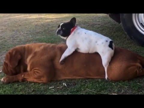 French Bulldog plays on back of huge French Mastiff