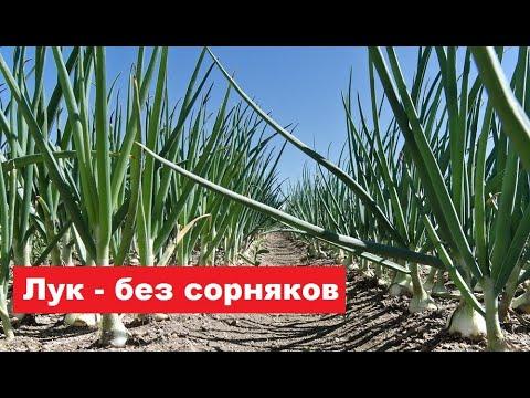 Как получить посевы лука без сорняков. (Видео №2)