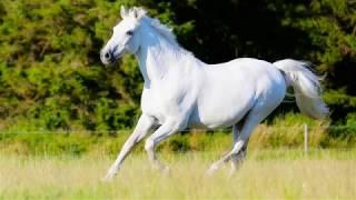 Сергей Понкратов Белый конь (баян)