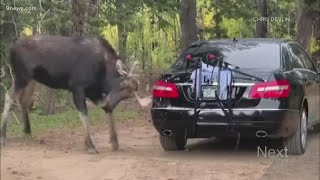 Moose commits hit-and-run, witness leaves note for car owner
