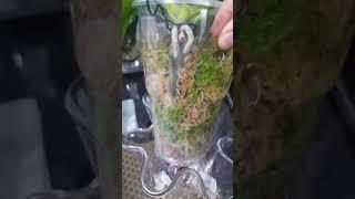 用新鲜水苔(Sphagnum Moss)種植蝴蝶蘭 14/10/2018 (廣東話)