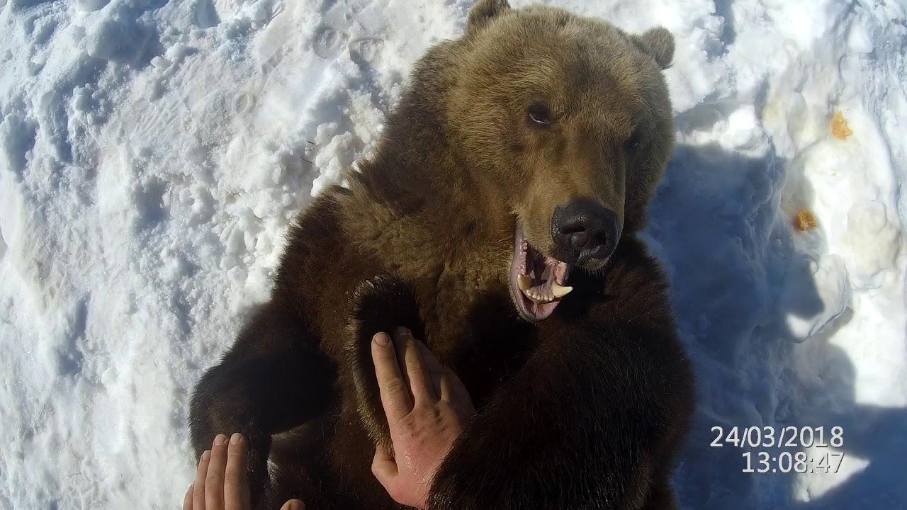 Пособие для стоматологов по осмотру зубов у медведя