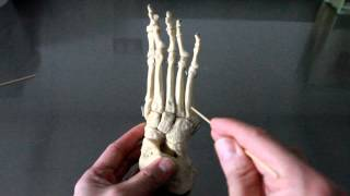 SKELETAL SYSTEM ANATOMY: Bones of the ankle, foot and toes
