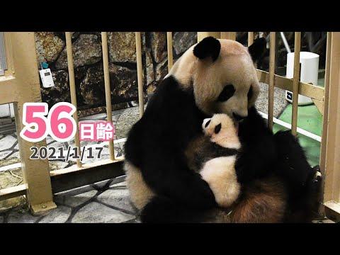 【パンダの赤ちゃん】お母さんの手と足さばきにご注目★(56日齢)