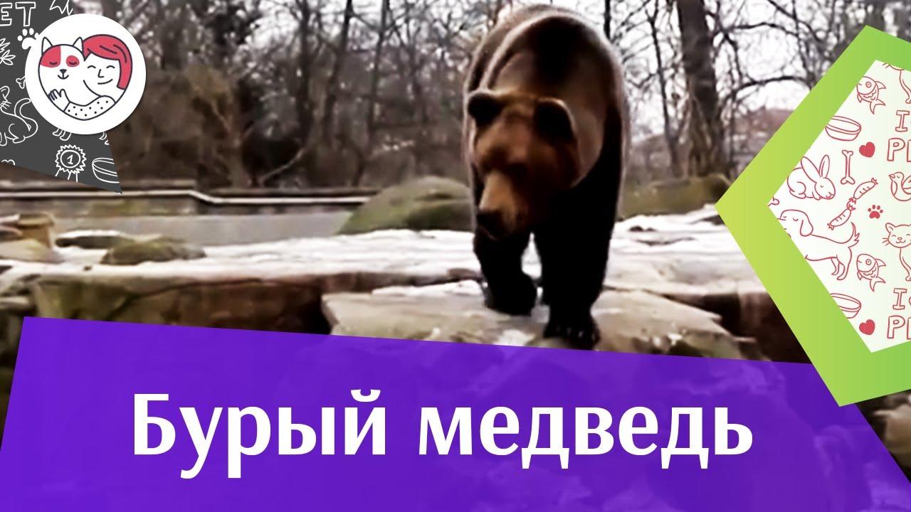 Бурый медведь Поиск берлоги на ilikepet
