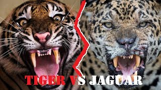 Tiger Vs Jaguar Fight | Tiger Vs Jaguar Fight To Death | Tiger Vs Jaguar Who Would Win