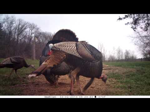 Spring Turkey In High Definition