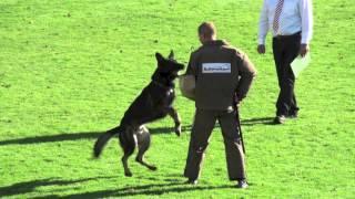 Hank Vom Weinbergblick   WUSV WM 2012 Schutzdienst (Protection)