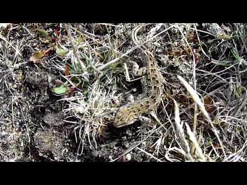 Video: Lagartija Magallánica, el único reptil de Tierra del Fuego