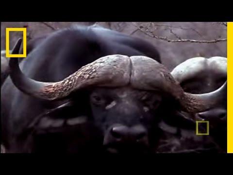Black Mamba vs. Animal Kingdom | National Geographic