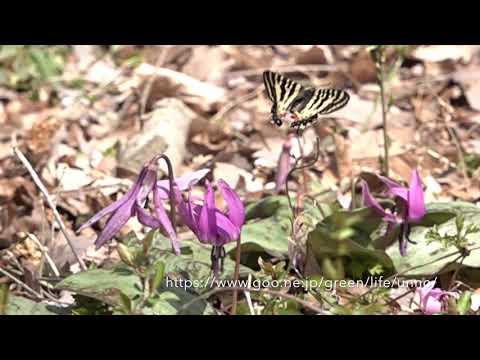 カタクリの花に舞うヒメギフチョウ Luehdorfia puziloi
