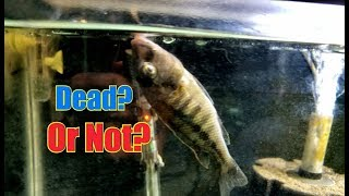 Is This Fish Dead?? Or Can We Bring Him Back To Life?