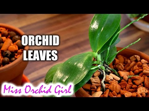 , title : 'Orchid leaves - Purpose, functions and features