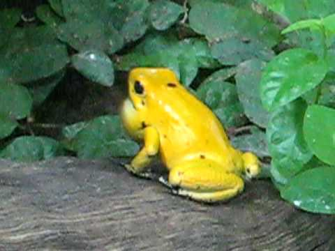 Poison arrow frog calling