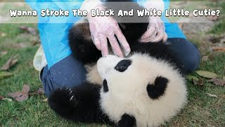 Wanna Stroke The Black And White Little Cutie? | iPanda
